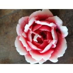 Rose groß